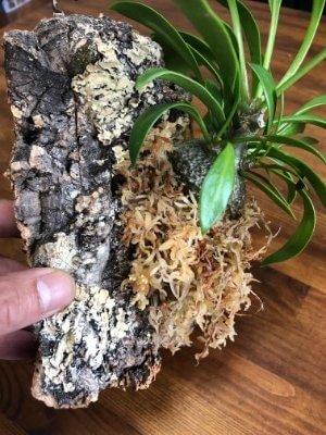 アリ植物のコルク着生手順