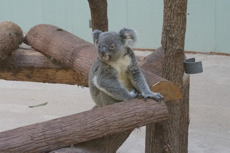 平川動物園コアラ