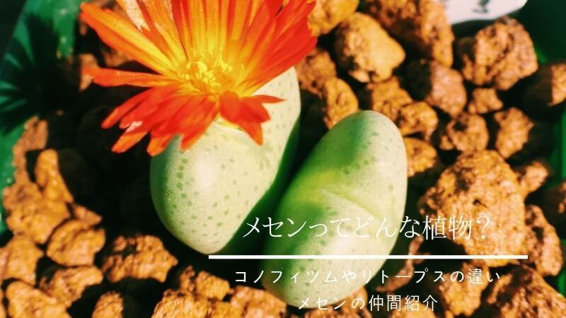 コノフィツムとリトープス (1)