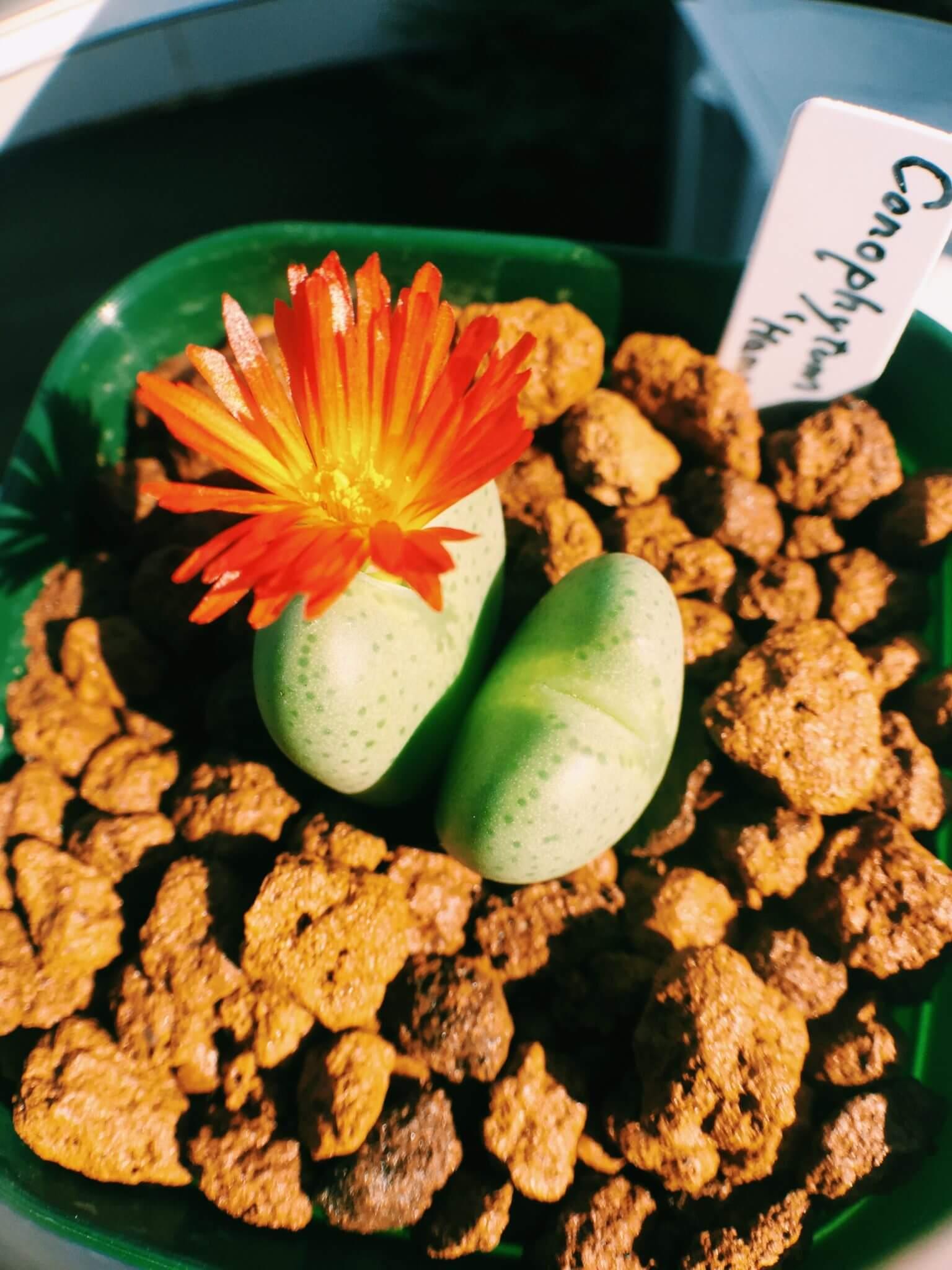 冬型多肉植物・コノフィツム