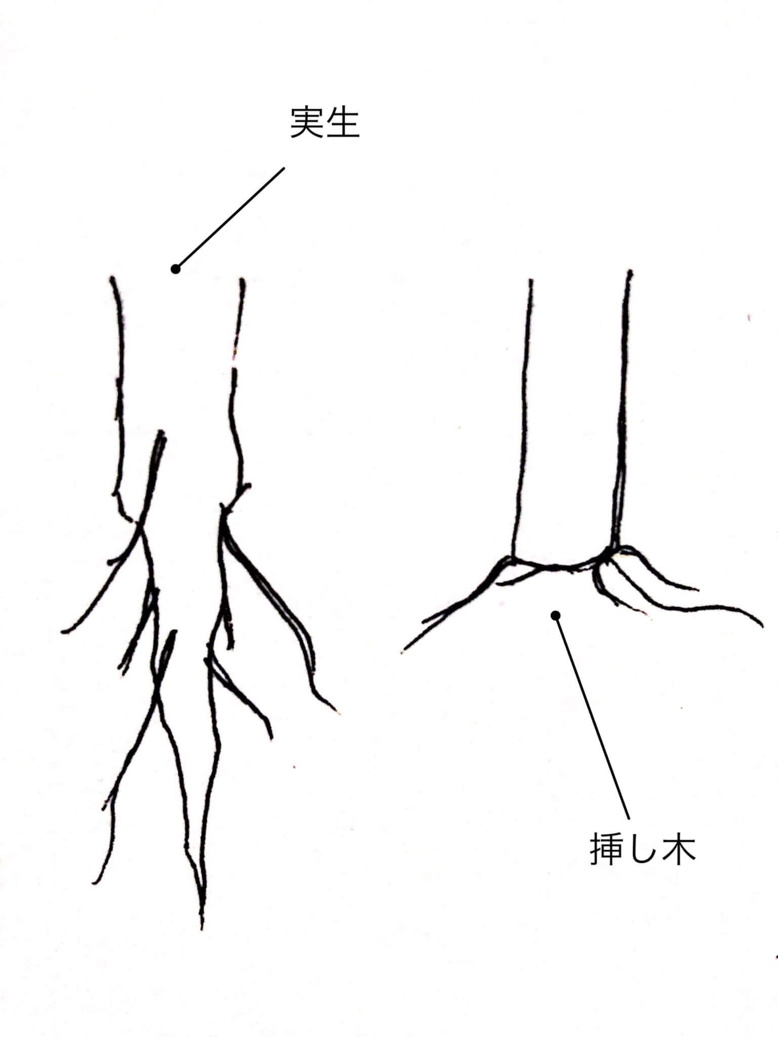 実生と挿し木の根の違い