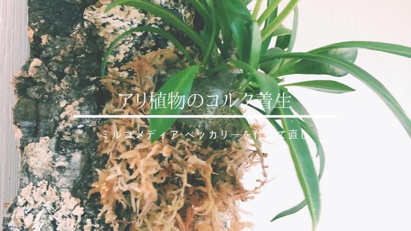 アリ植物のコルク着生