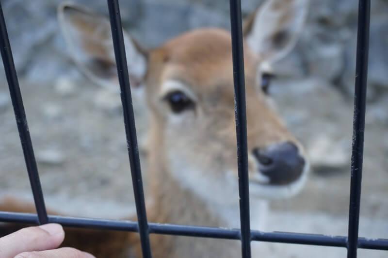 平川動物公園の鹿