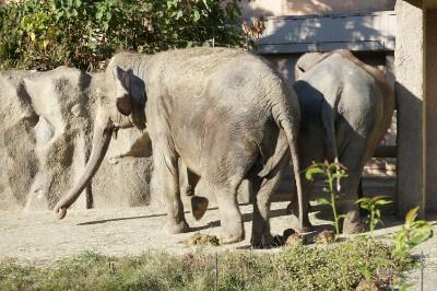 平川動物公園のゾウ