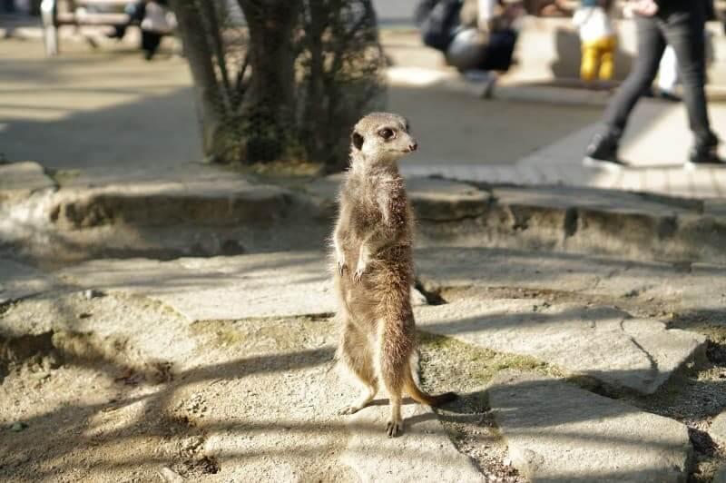トリアス動物公園のミーアキャット