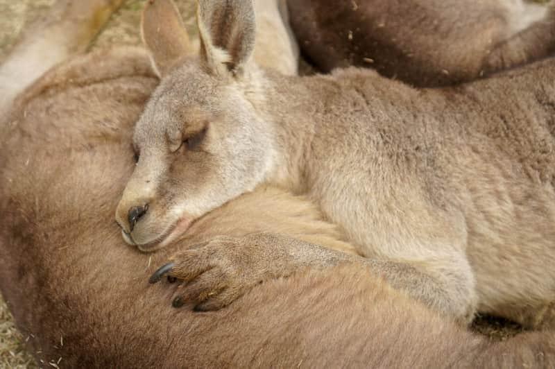 カンガルーの寝顔
