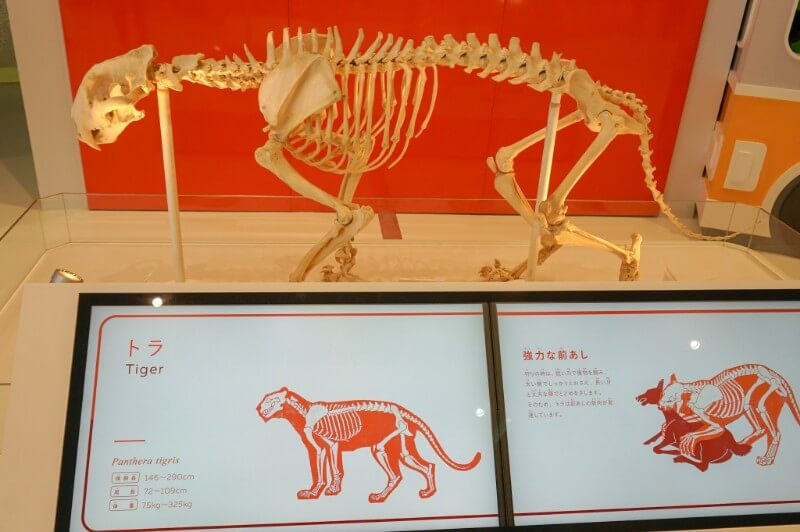 ズーラボ・虎の骨標本