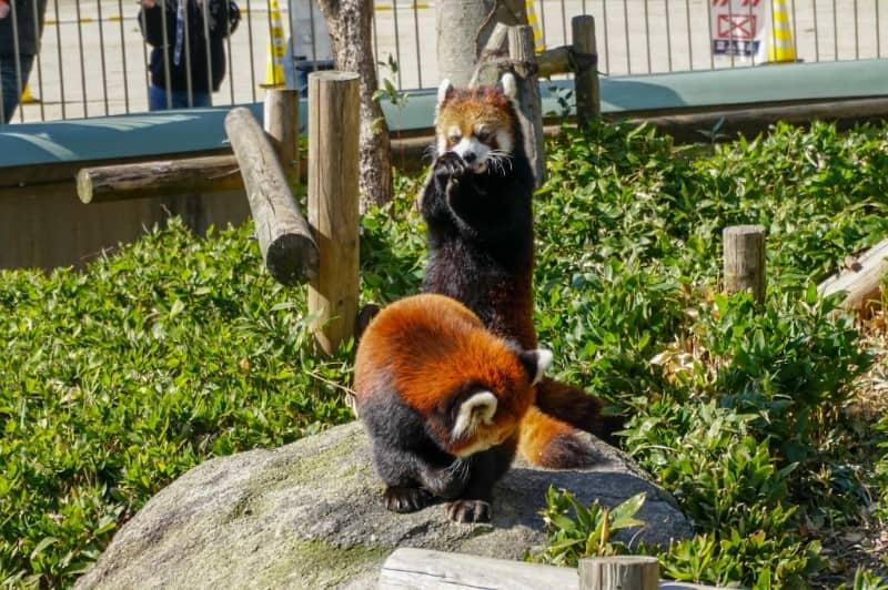 福岡市動物園のレッサーパンダ